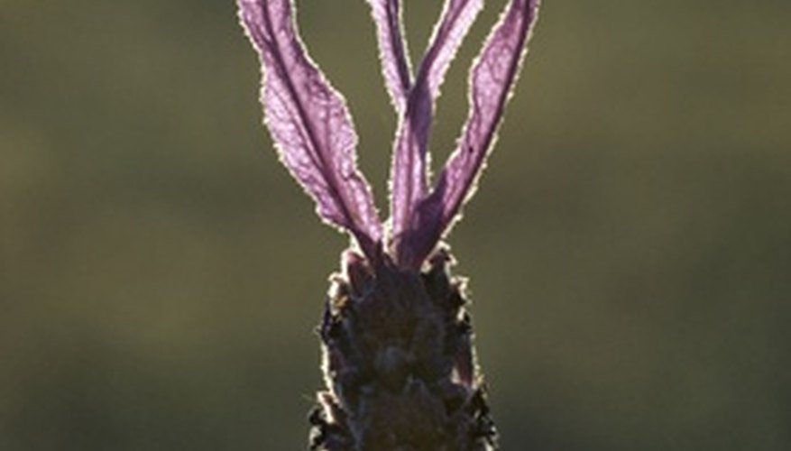 Sweet lavender's flowers rise above the plant's foliage.