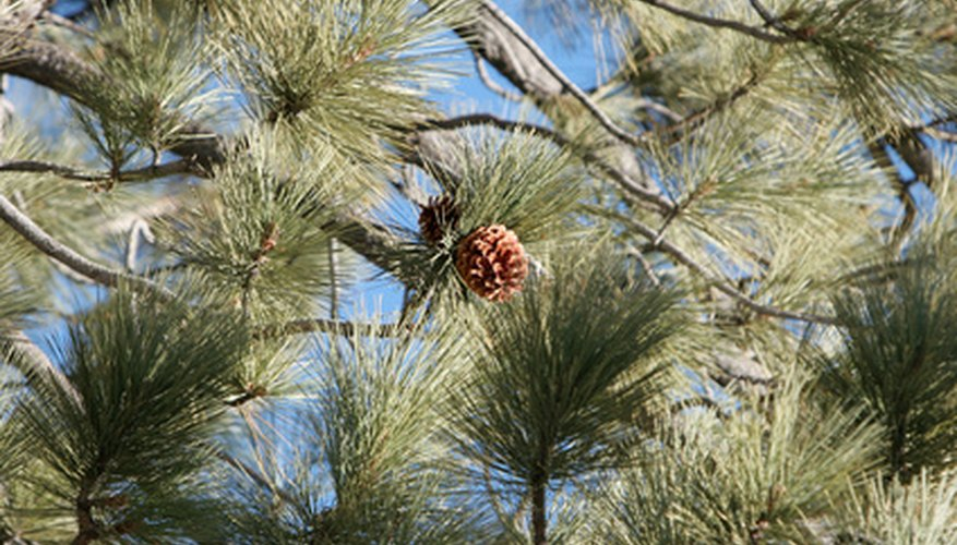 PIne needles occur in bundles with one to eight needles.
