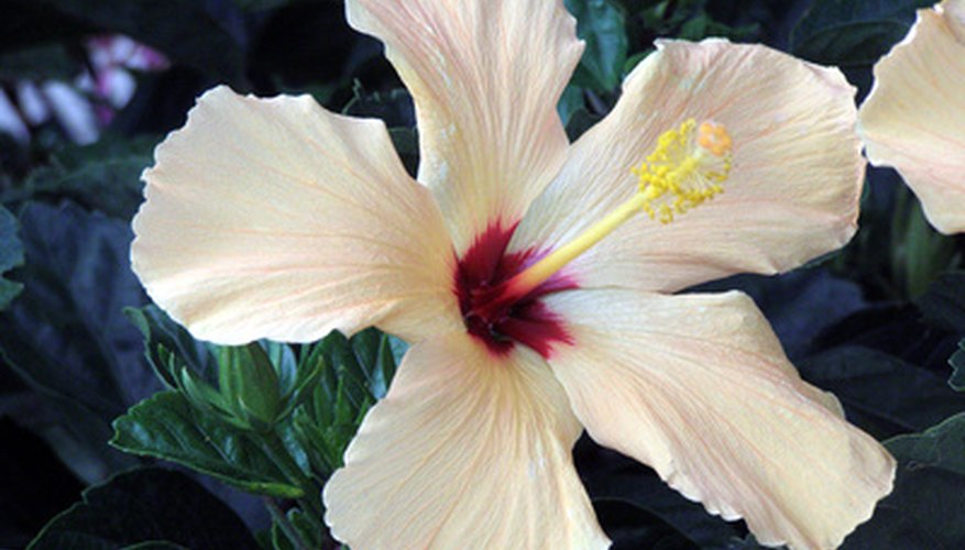 Hibiscus tree flower