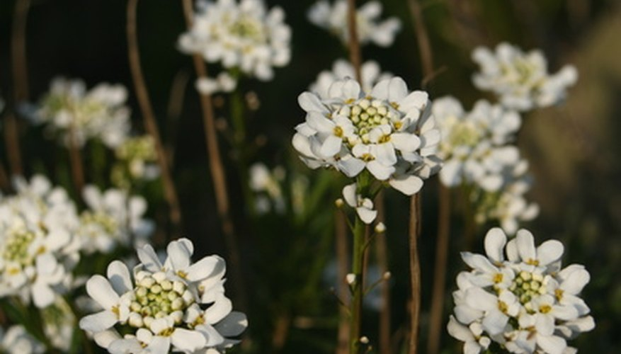 Candytuft is a charming perennial for northern Nevada rock gardens.