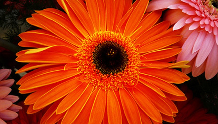 Gerbera daisies are prized for their brightly colored blooms.
