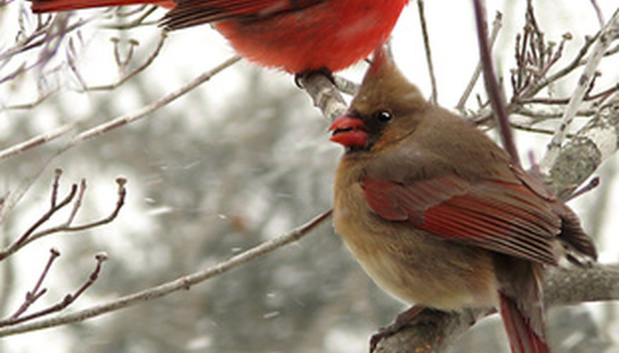 Why Do Male Cardinals Feed Female Cardinals Sciencing