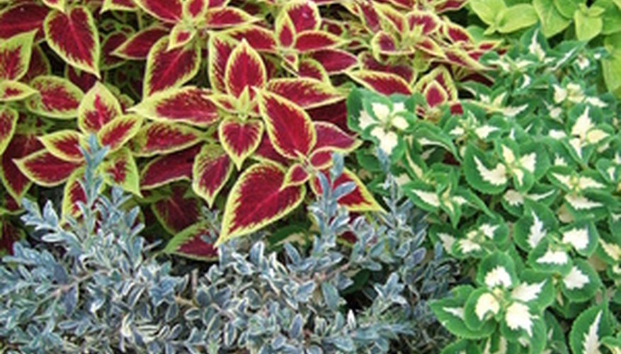 Coleus plants have colorful foliage and are attractive mixed with thinner leafed plants.