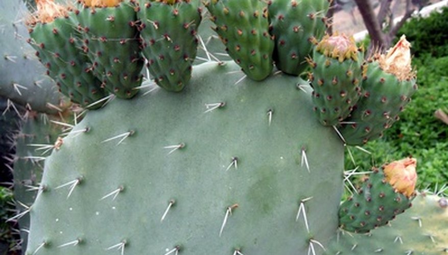 Nopal cactus produce fruit from the edge of each paddle.