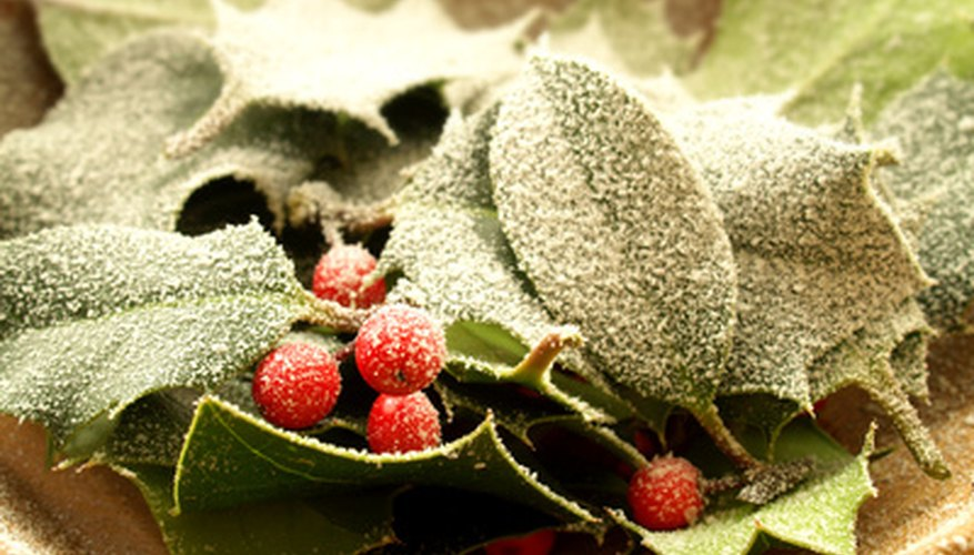 Not all holly leaves have spines but only female plants have berries.
