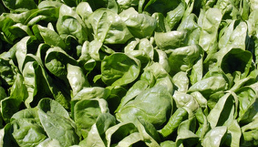 Spinach is a winter vegetable crop.