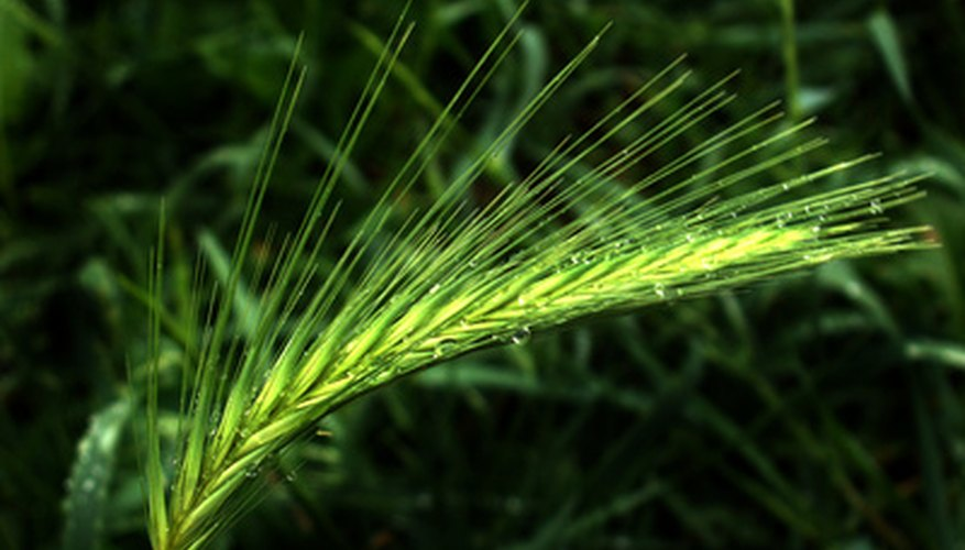 Oat grass will eventually produce seeds that, when harvested, are oats.