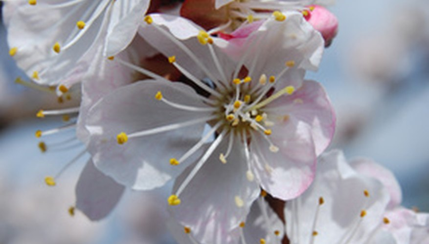 Late-blooming apricot trees avoid frost damage.