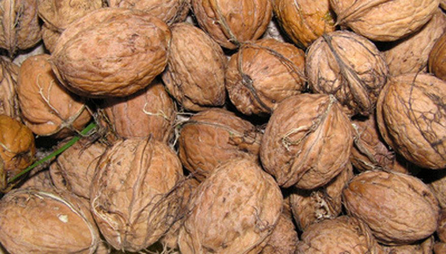 English walnuts are usually propagated by grafting scions onto rootstock.
