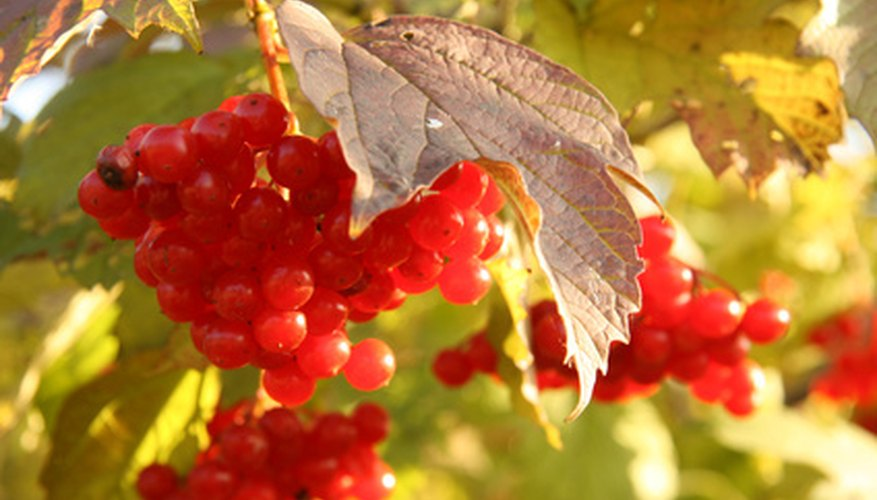 Europeans call cranberry bush the