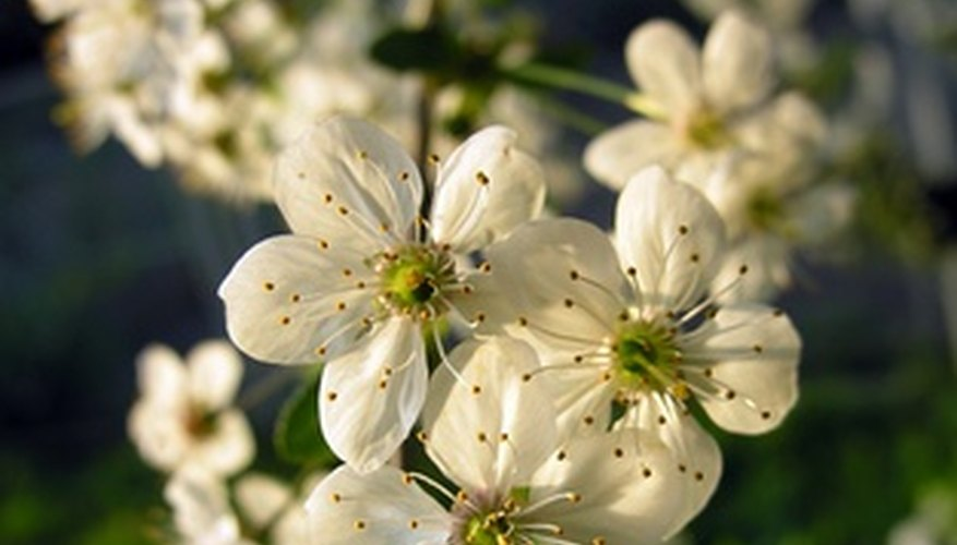 The white flowering plum tree is popular worldwide.