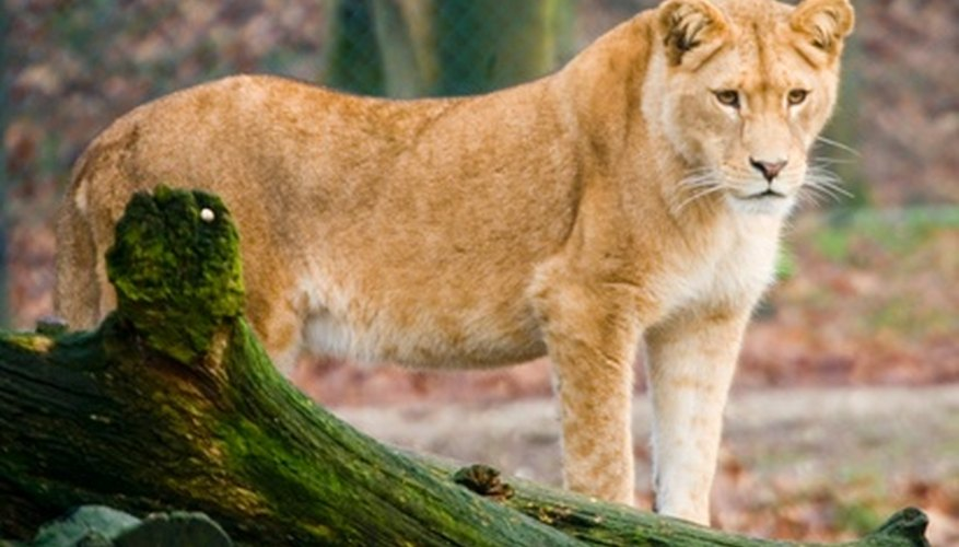 Las leonas dan a luz por primera vez generalmente a los 4 años de edad.