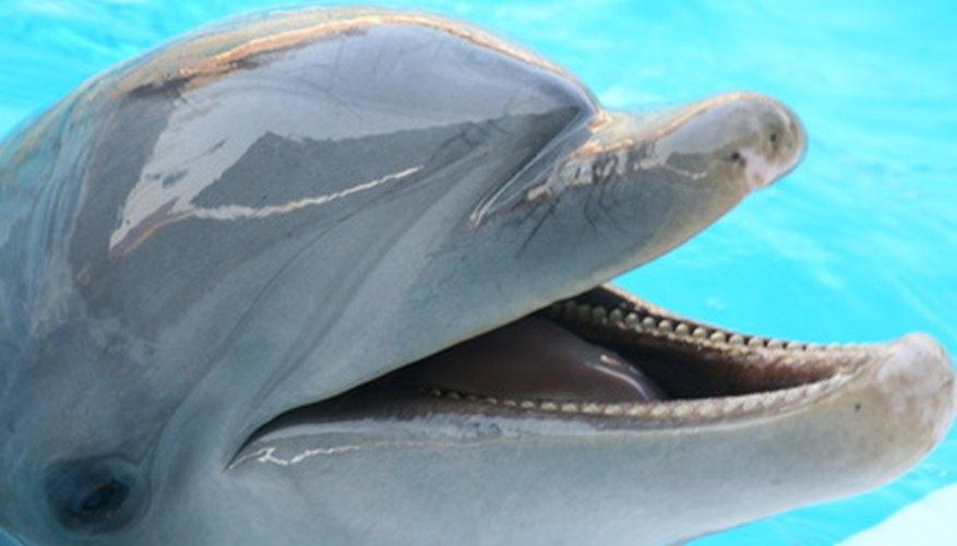 Los delfines en cautiverio comparten el agua con los nadadores.