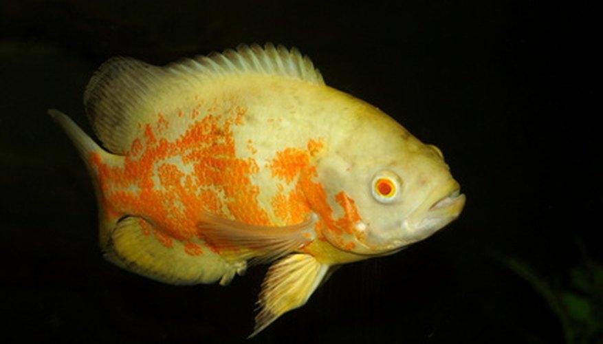 Los peces oscar son una especie popular de acuario.