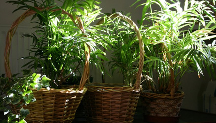 Vine plants make wonderful basket plants.