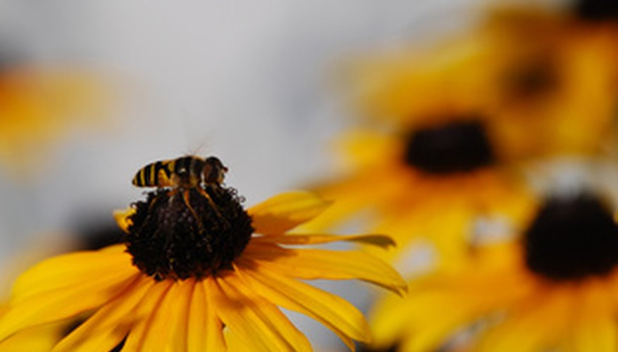 A bee feeds on a black-eyed Susan flower.