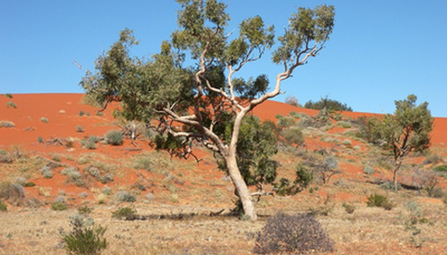 A gum Arabic tree in its natural habitat