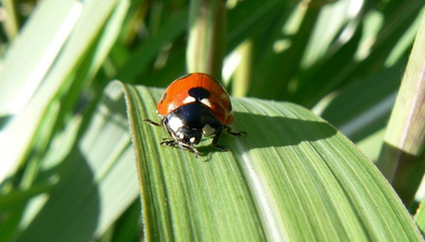 Lady bug surveying its area of the garden