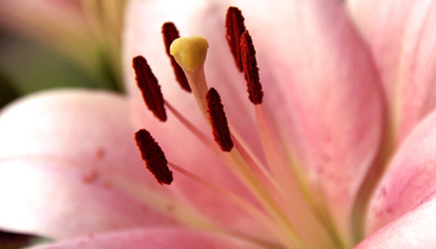 The anthers may surround the stigma, waiting for pollen to be transferred by insects.