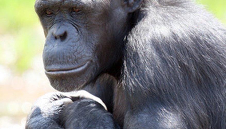 Los primates, como los chimpancés y los humanos, son parte del reino Animal.