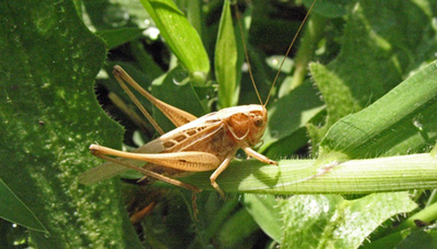 Grasshoppers love hot, dry weather.