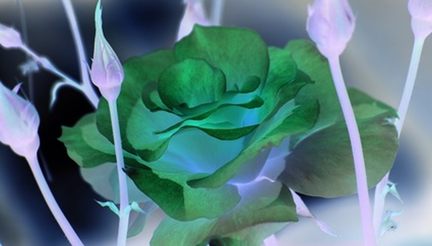 There are several varieties of green roses but all are considered novelty cultivars.