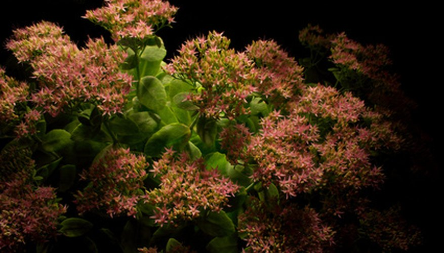 Sedum produces colorful flowers for the garden.