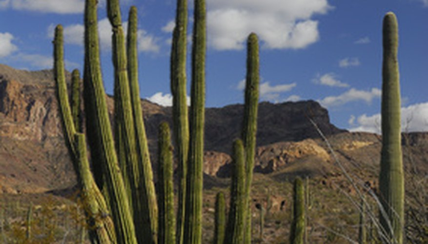 The organ pipe cactus has tall, column-like stems.