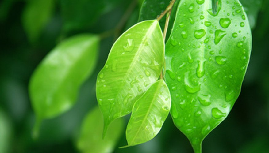 Weeping fig tree leaves (Ficus benjamina)