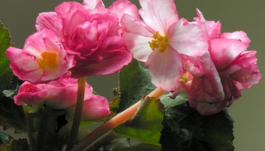 Begonias grow well in humid, hot summer weather.