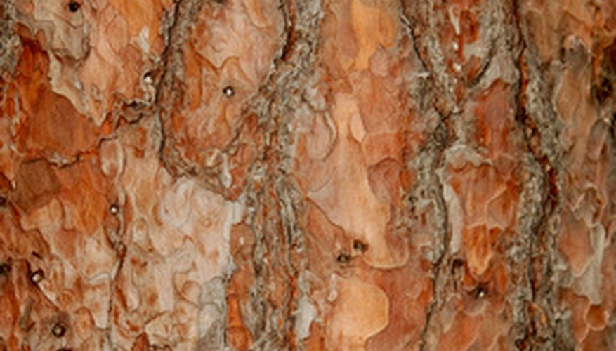 The inner most layer of pine bark provides you with a world of benefits.