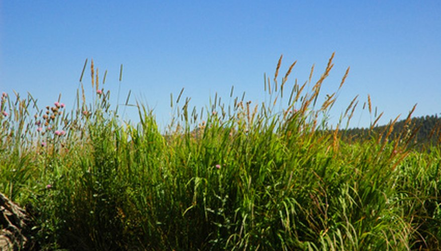 Johnsongrass is often confused with other tall grasses, but does not look like crabgrass.