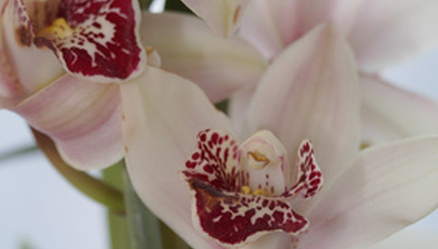 Cymbidium orchids can produce long lasting flower spikes that last two to three months