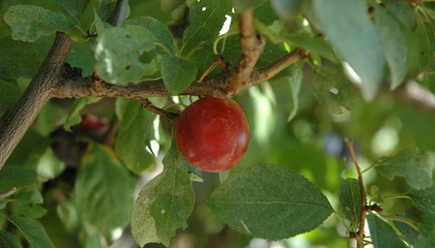 Umeboshi is the fruit of a Japanese apricot tree.