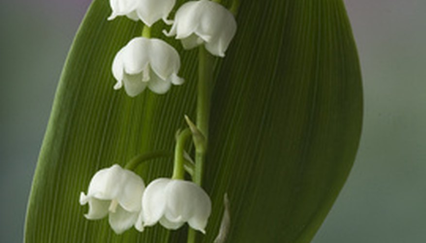 Lily of the valley produces clusters of white, bell-shaped blooms.