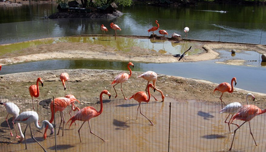 There are different color variations and species of flamingos.