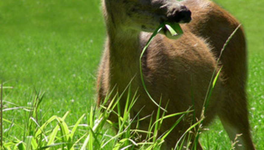 Discourage deer from grazing on your garden with a few homemade remedies.