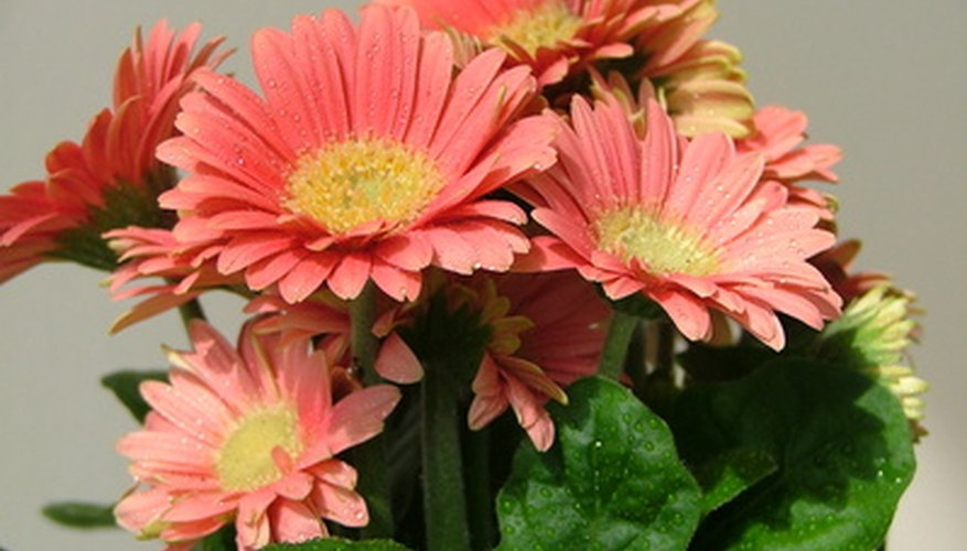 Gardeners often use large, colorful gerbera daisy in bouquets.
