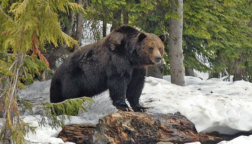 Grizzly bears may live in warm or cold habitats