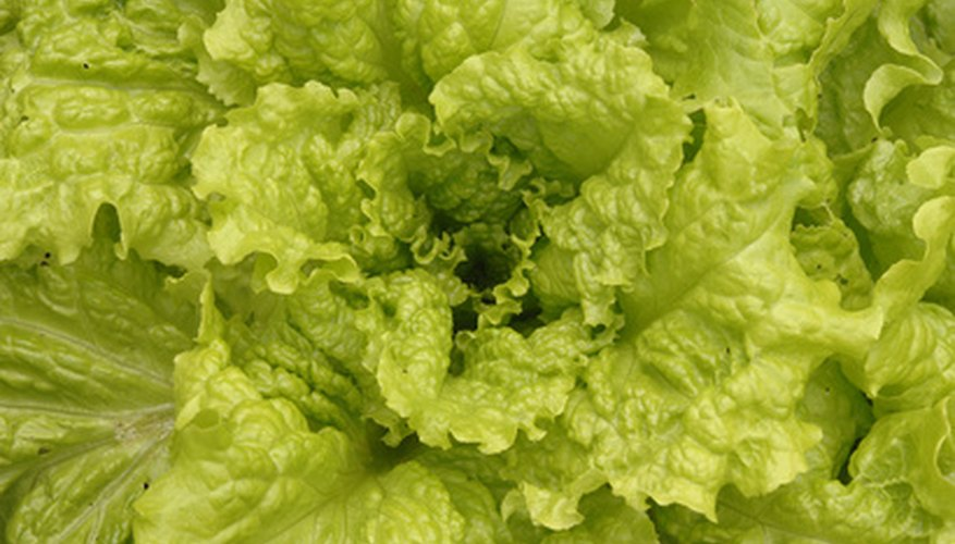 Get two crops of lettuce yearly in Michigan.