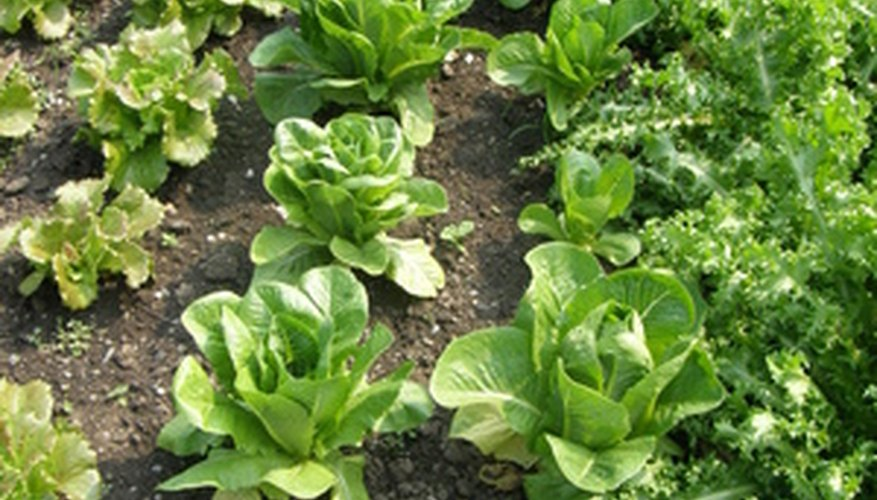 Many varieties of lettuce can be grown.