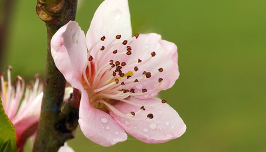 Don't spray the peach tree when the blossoms open.