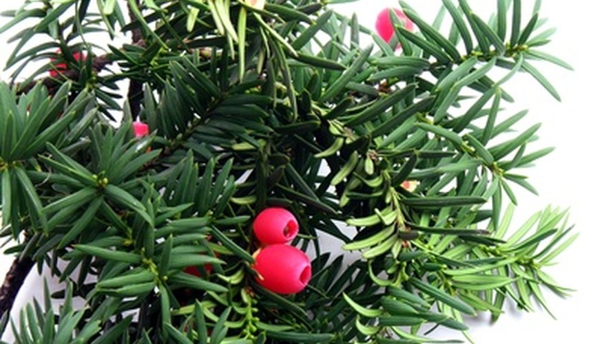 Yew branch with bright red berries.