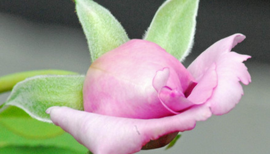 The green leaf-like sepals have opened to allow this rose to bloom.