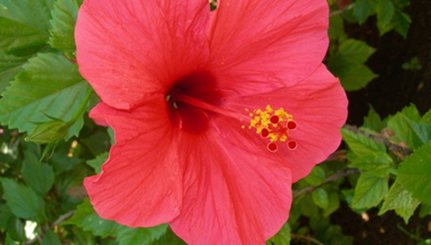 Hibiscus plants attain heights of 2 feet to 15 feet.