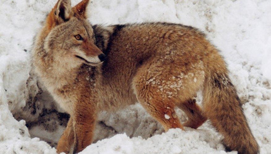 ¿Puedes diferenciar entre la huella de un coyote y la de un perro?