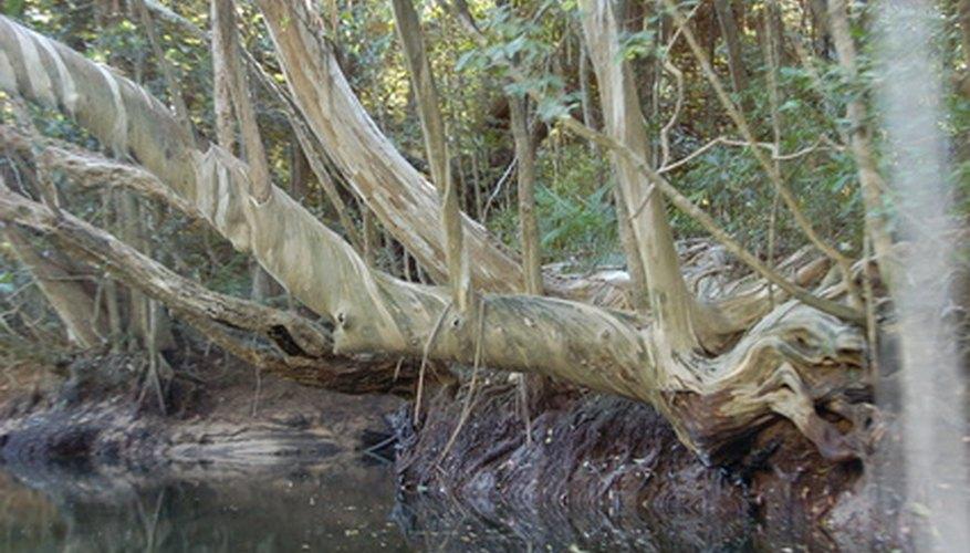 El manglar del Ecuador crece y acepta el agua salada.