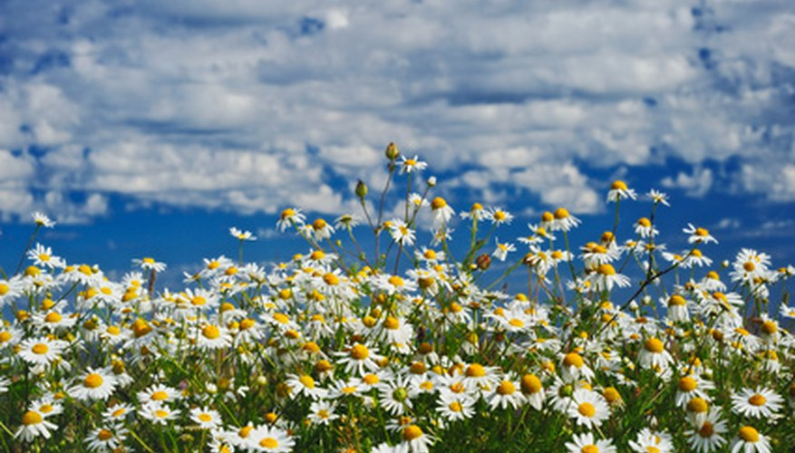 A field of chamomile flowers.