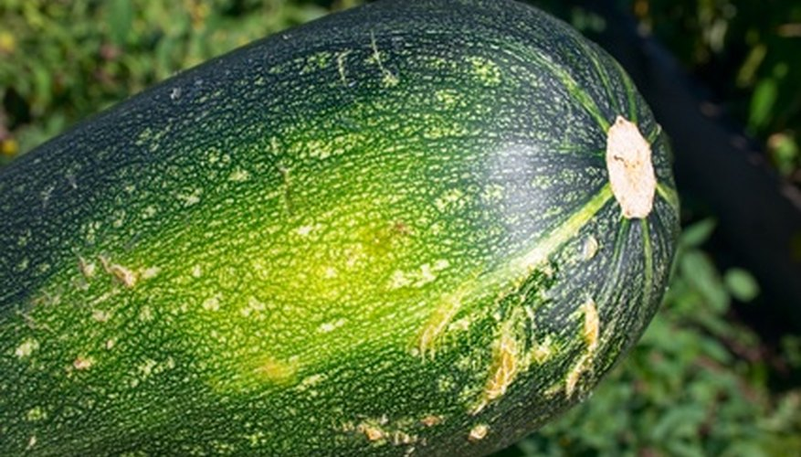 Some garden pests are harmful to zucchini plants.