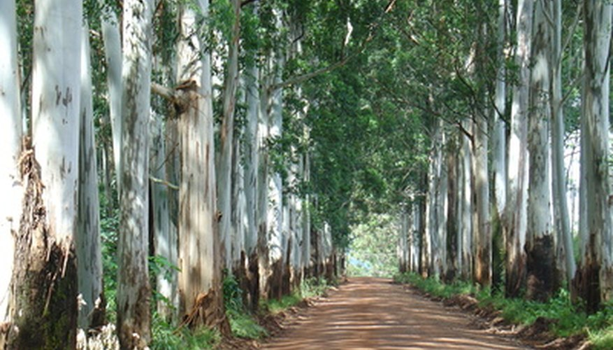 An alley of silver dollar eucalyptus trees.